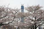 桜 東京スカイツリー