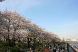 桜 墨田公園