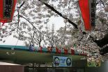 桜 上野動園