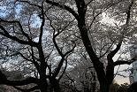桜 千鳥ヶ淵緑道