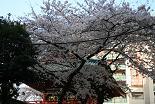 桜 神田明神