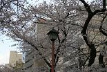 桜 外濠公園