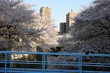 桜 神田川