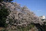 桜 哲学堂公園