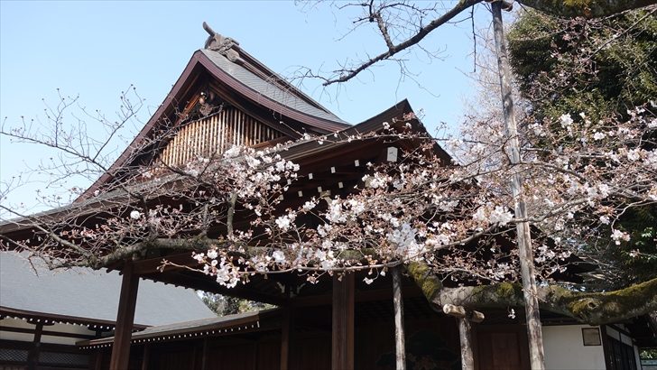 靖国神社 桜