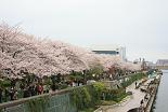 桜 隅田公園