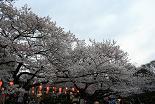 桜 上野公園