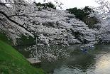 桜 北の丸公園