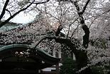 桜 靖國神社