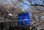 桜 新青梅街道