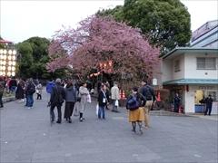 上野恩賜公園入口(山桜)