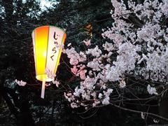 公園内(山桜が満開)