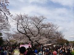 上野恩賜公園(満開)