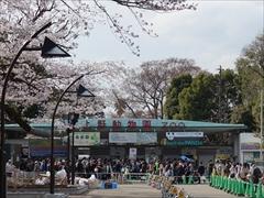 上野動物園前(満開)